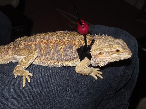 Making a Reptile Harness