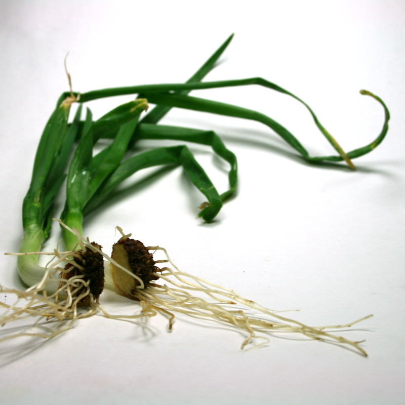 Grow Onions from Discarded Onion Bottoms