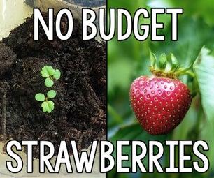 没有预算草莓