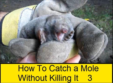 How To Catch a Mole Without Killing It 3