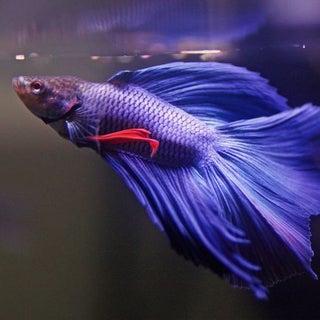 Betta fish fighter fish.JPG