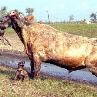 bull baiting.jpg