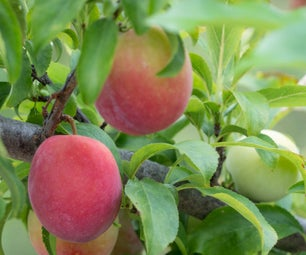 Top 5 Reasons for Thinning a Fruit Tree & How to Do It.