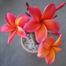 Purchasing Plumeria Cuttings Plants And Seedlings On eBay