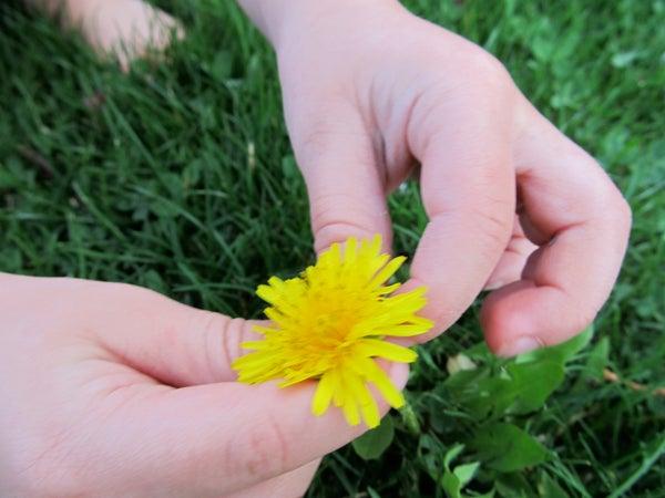 Harvest Your Dandelions!
