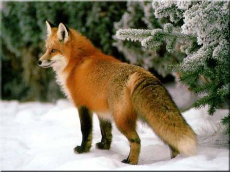 How to Draw a Red Fox in the Snow.