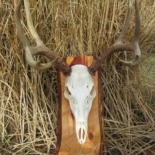 European Mounted Deer