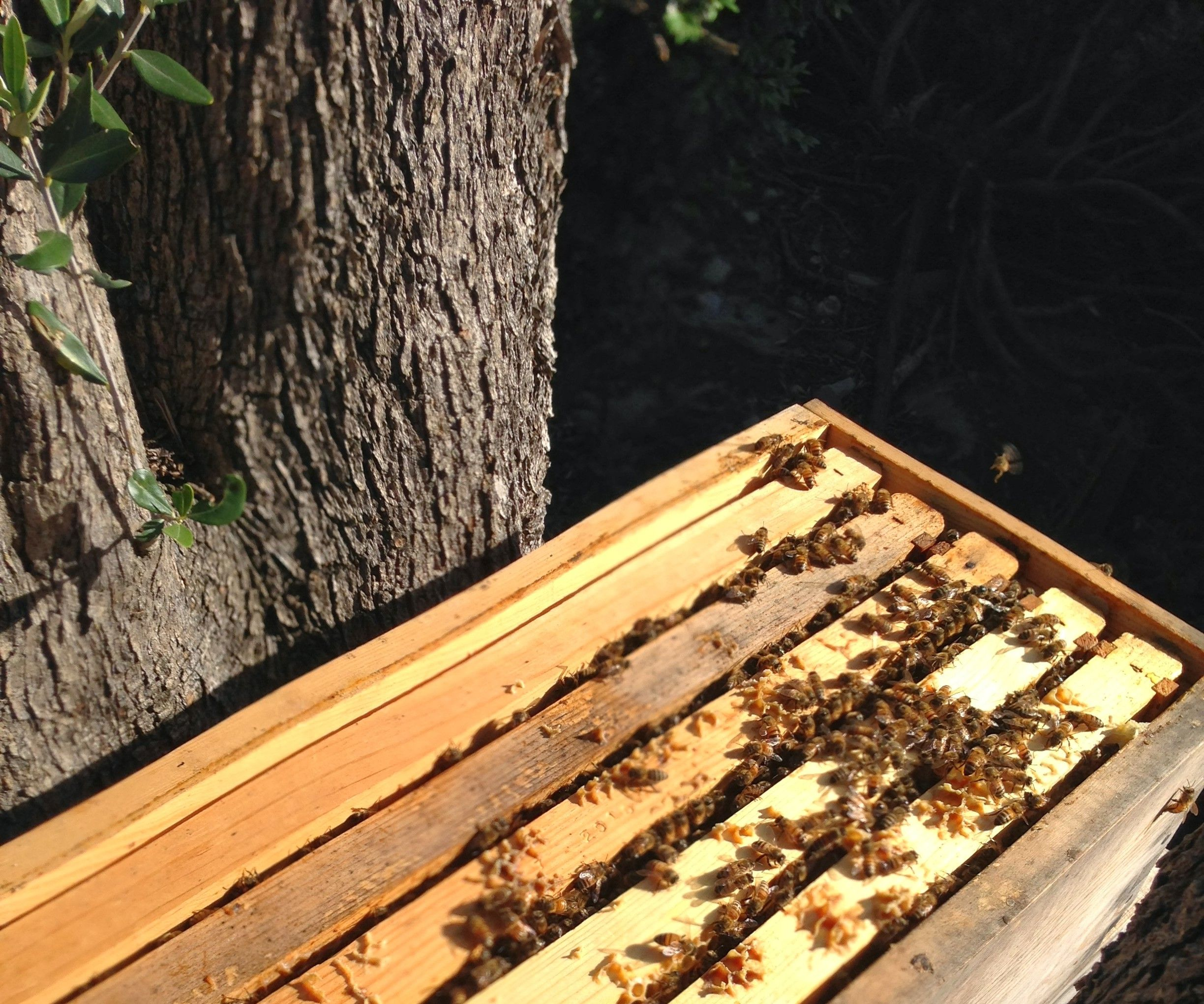 How to Make a Nucleus Honeybee Colony (and prevent established hives from swarming)