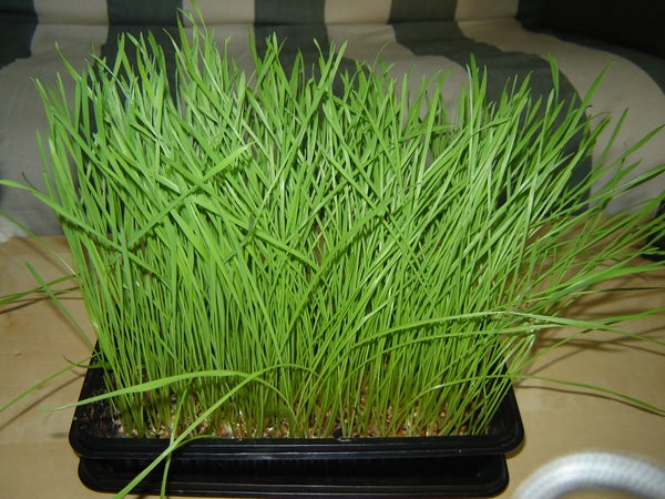 Grow Your Own Wheatgrass