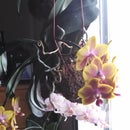 Flying Orchids, Happy Times