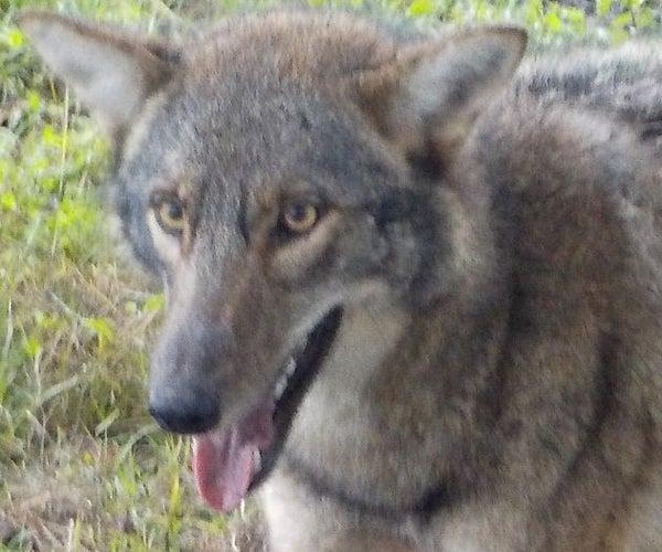 Coyote Jerky