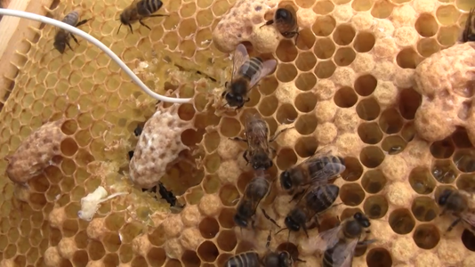 'Harvesting' Queen Cells