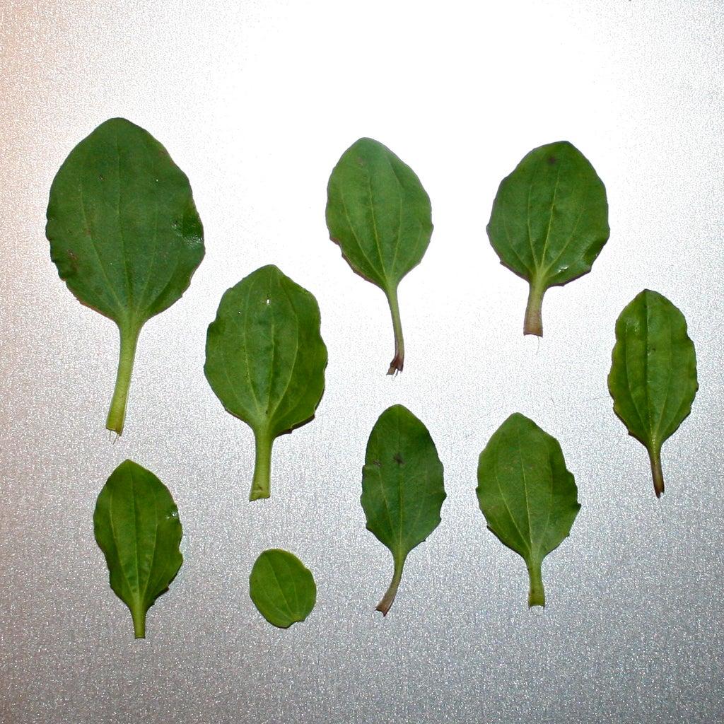 Plantain Poultice: Boils, Blisters & Bug Bites