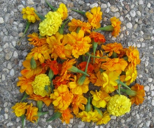 How to Make Marigold Tea: Organic Aphid Control and Prevention