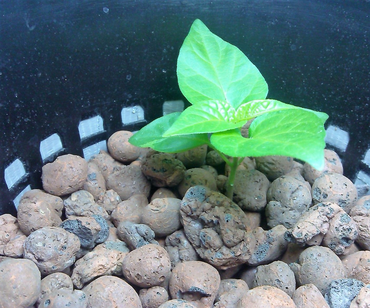 How to Make a DWC (Bubbler Hydroponics) for Bhut Jolokia Plant (Ghost Pepper)