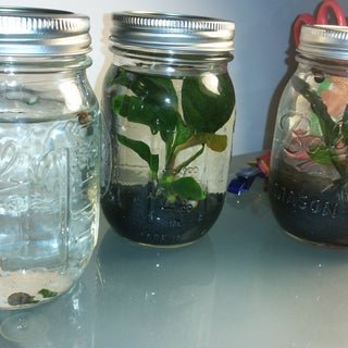 Pico Aquarium in a Mason Jar (almost Maintenance-free)