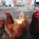 Automatic Chicken Coop Door - No Programming Needed!