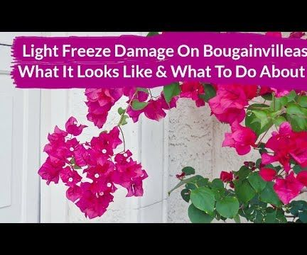 Light Freeze Damage on Bougainvilleas: What It Looks Like & What to Do About It