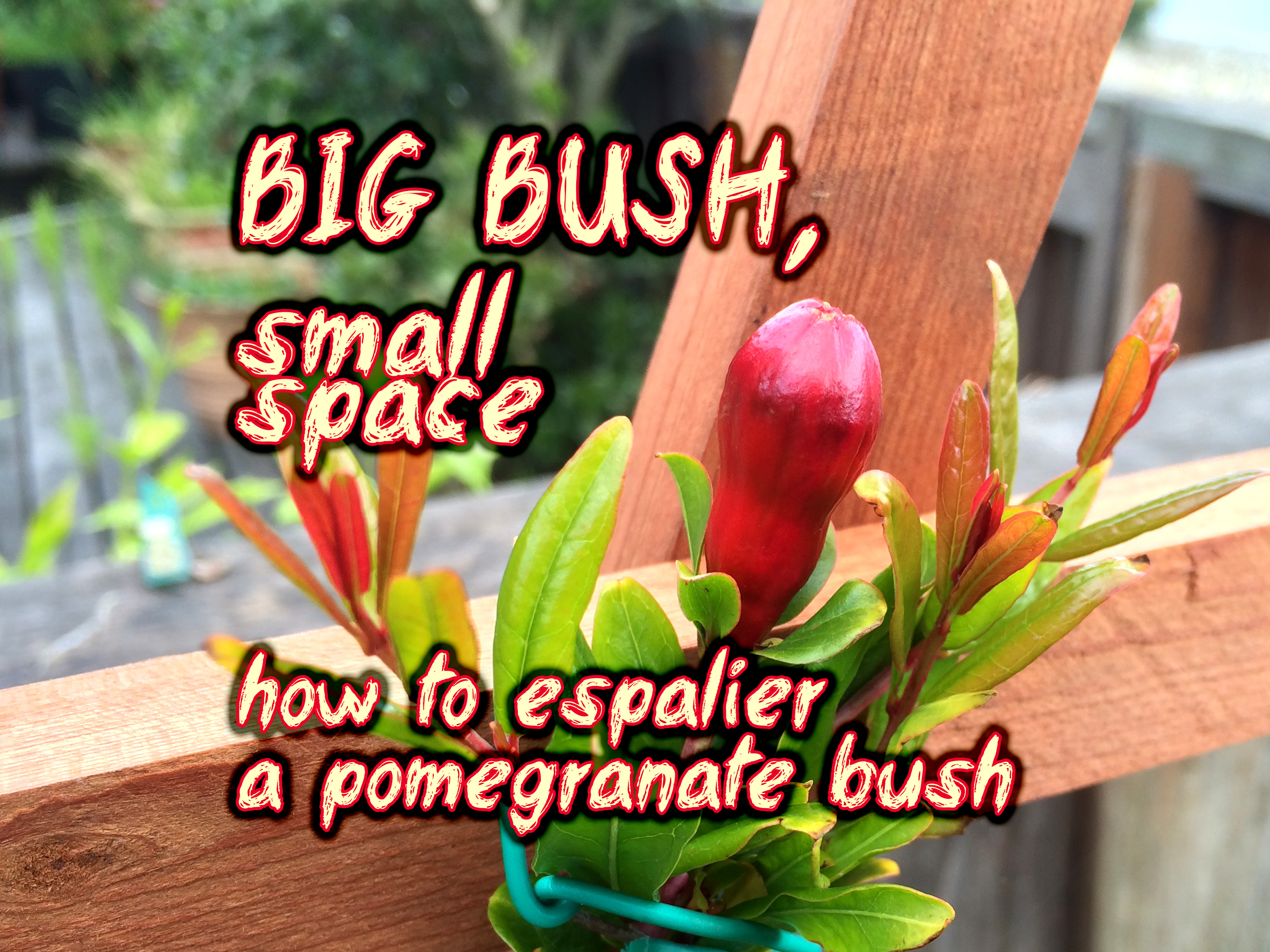 Big Bush, Small Space ~ How to Espalier a Pomegranate Bush