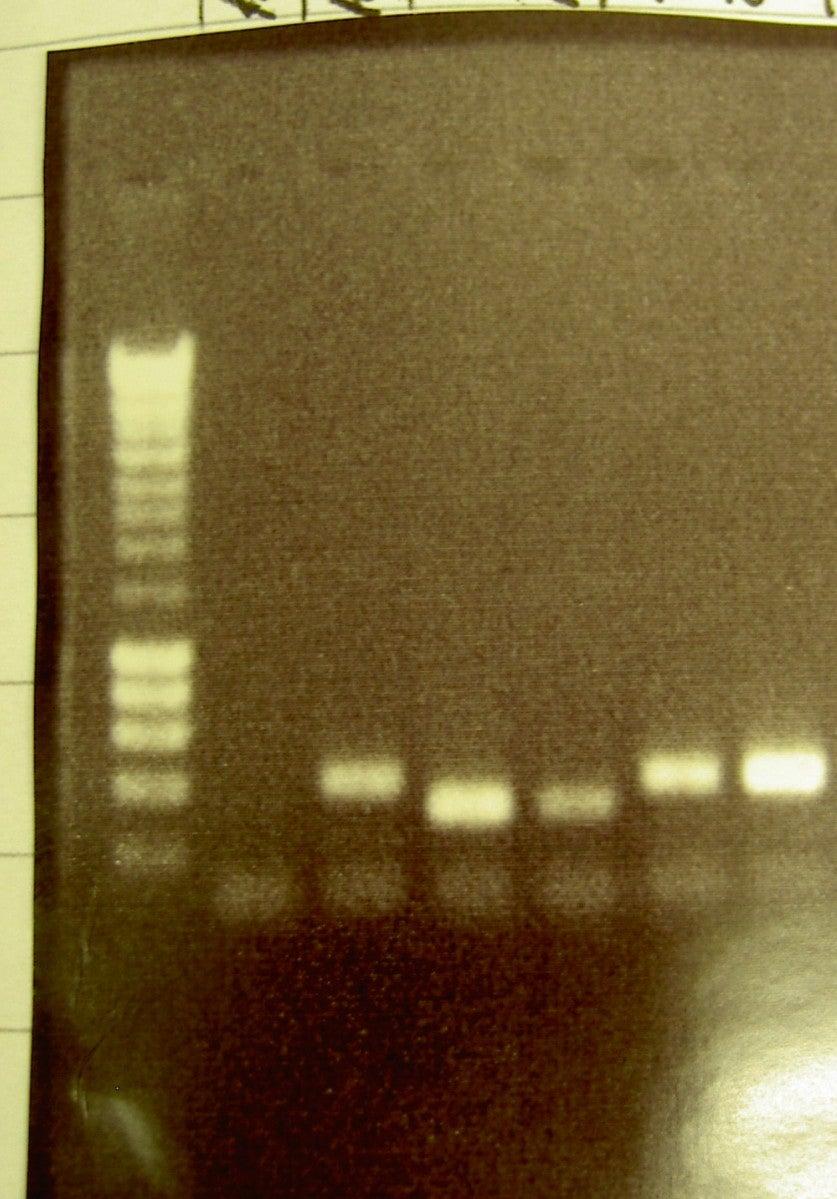 PCR Amplify