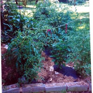 My tomatoes0001.jpg