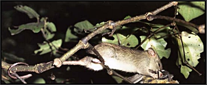Eliminating Tree Rats