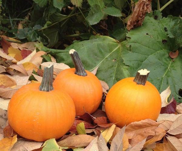 Fresh Pumpkin Pie Puree- and Seeds Too!