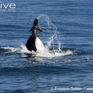 Orca-tossing-a-caught-northern-elephant-seal-pup.jpg