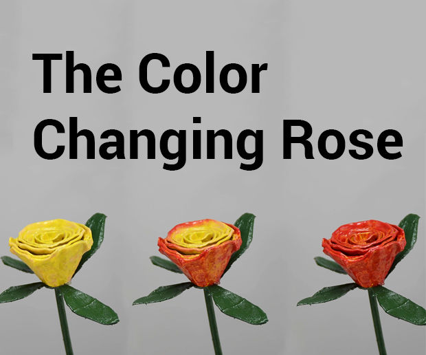 The Color Changing Rose