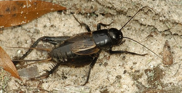 How To Catch Crickets 3 Steps, How To Catch Crickets In Basement