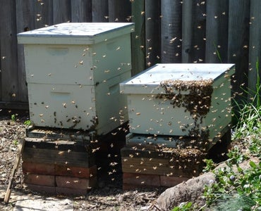 Where to Get Bees?