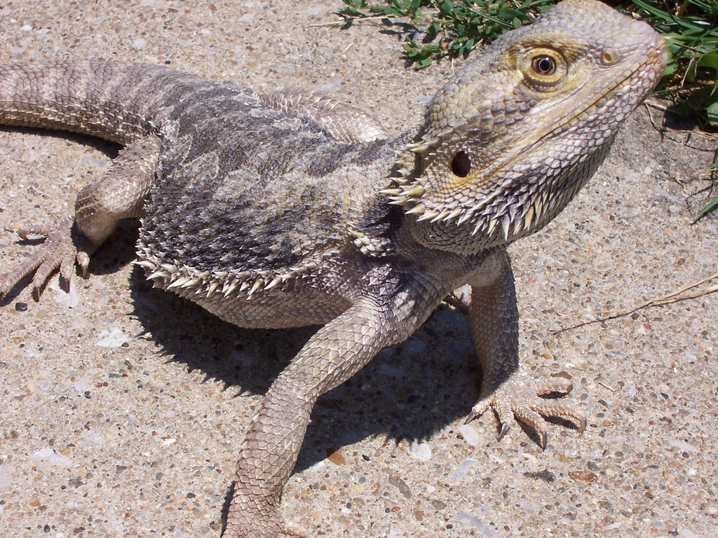Complete Bearded Dragon Care