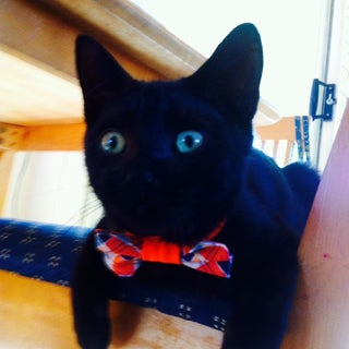 Cat Bow Tie + Pattern