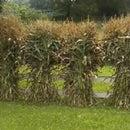 Cultivo y congelación de maíz dulce