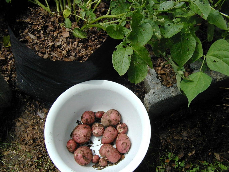 Spud Harvesting: