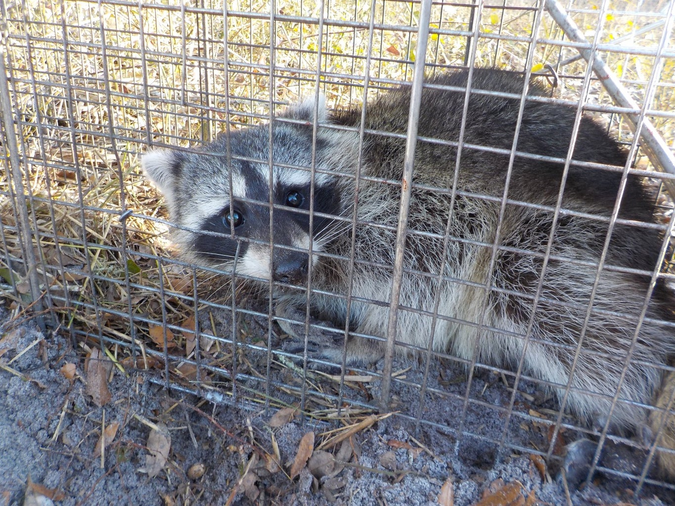 Safe and Proper Handling of Raccoons