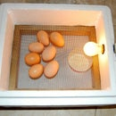 The $3, 30-Minute Egg Incubator