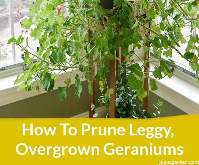 How to Prune Leggy, Overgrown Geraniums