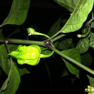 Growing the Carolina Reaper