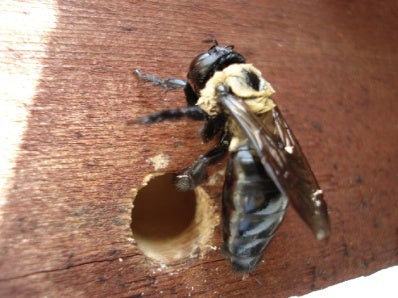 Making Carpenter Bee Traps
