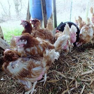 Ex-bat Chickens