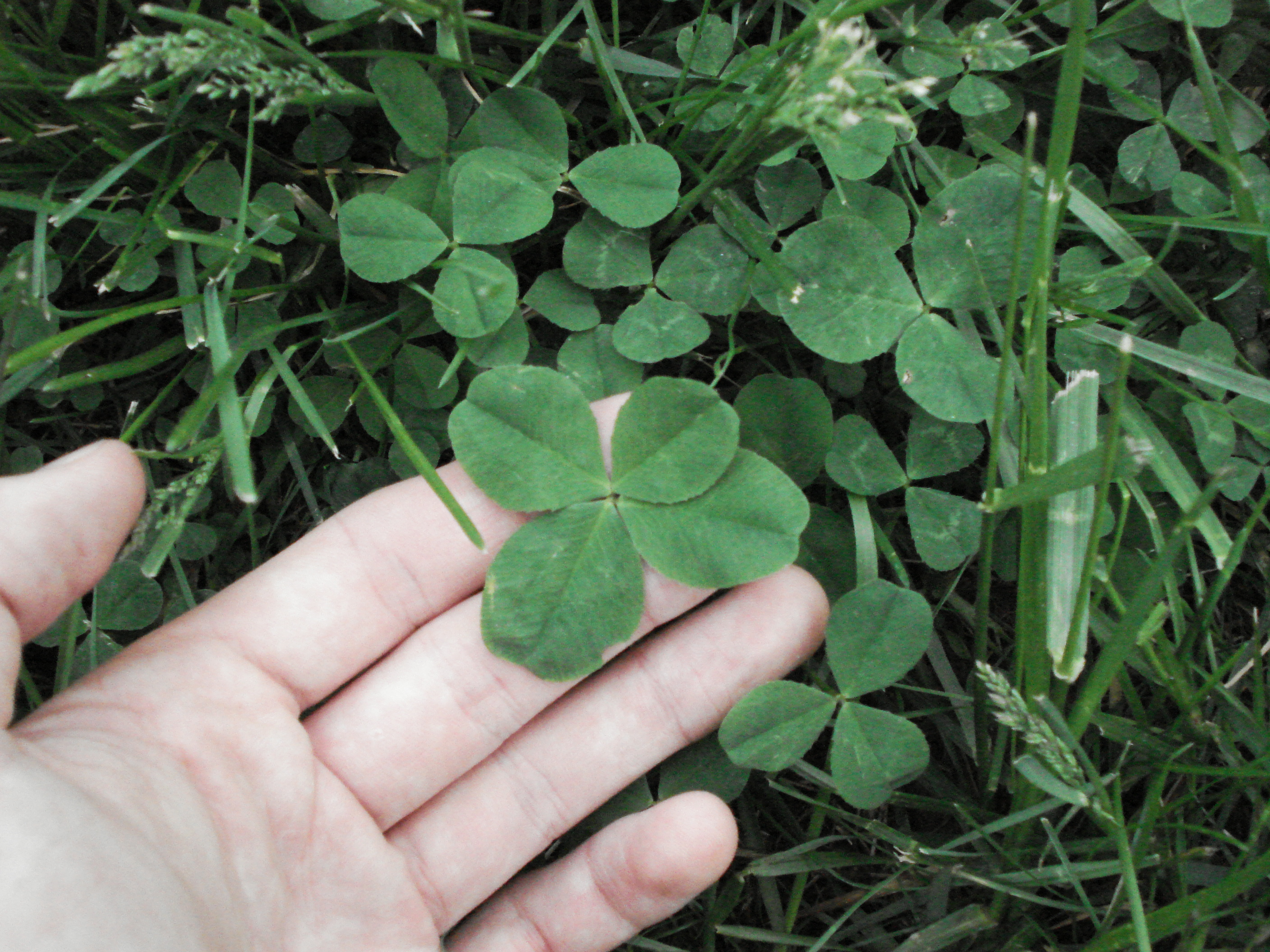 4-leaf Clovers: A Finder's Guide