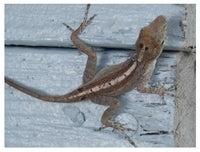 How to Catch a Lizard