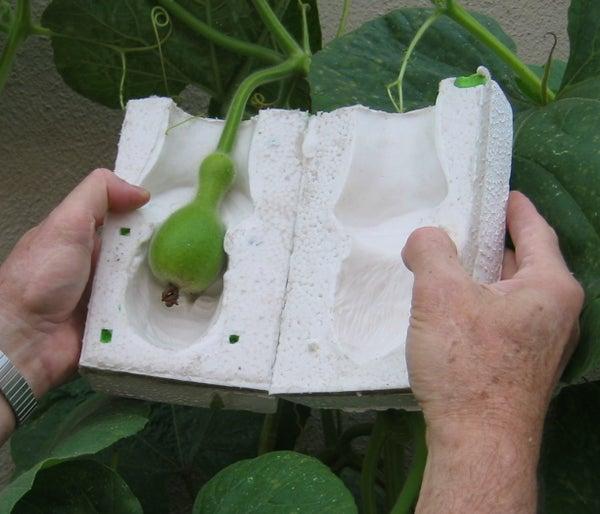 Portrait Gourds Grown in Molds