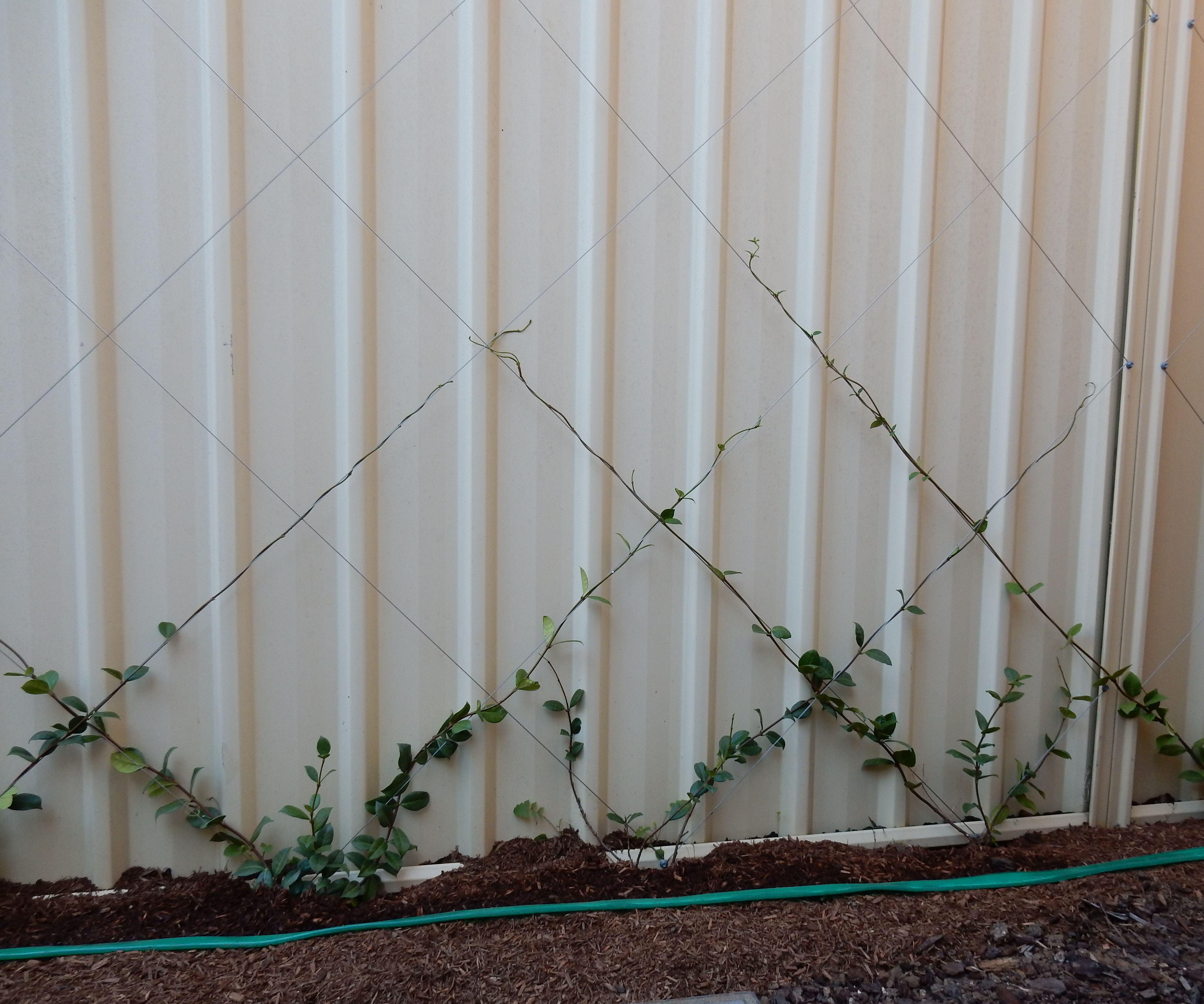 Garden Trellis and Climbing Hedge on Existing Fence