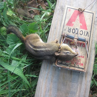 How to Turn a Rat Trap to a Sick Squirrel Trap