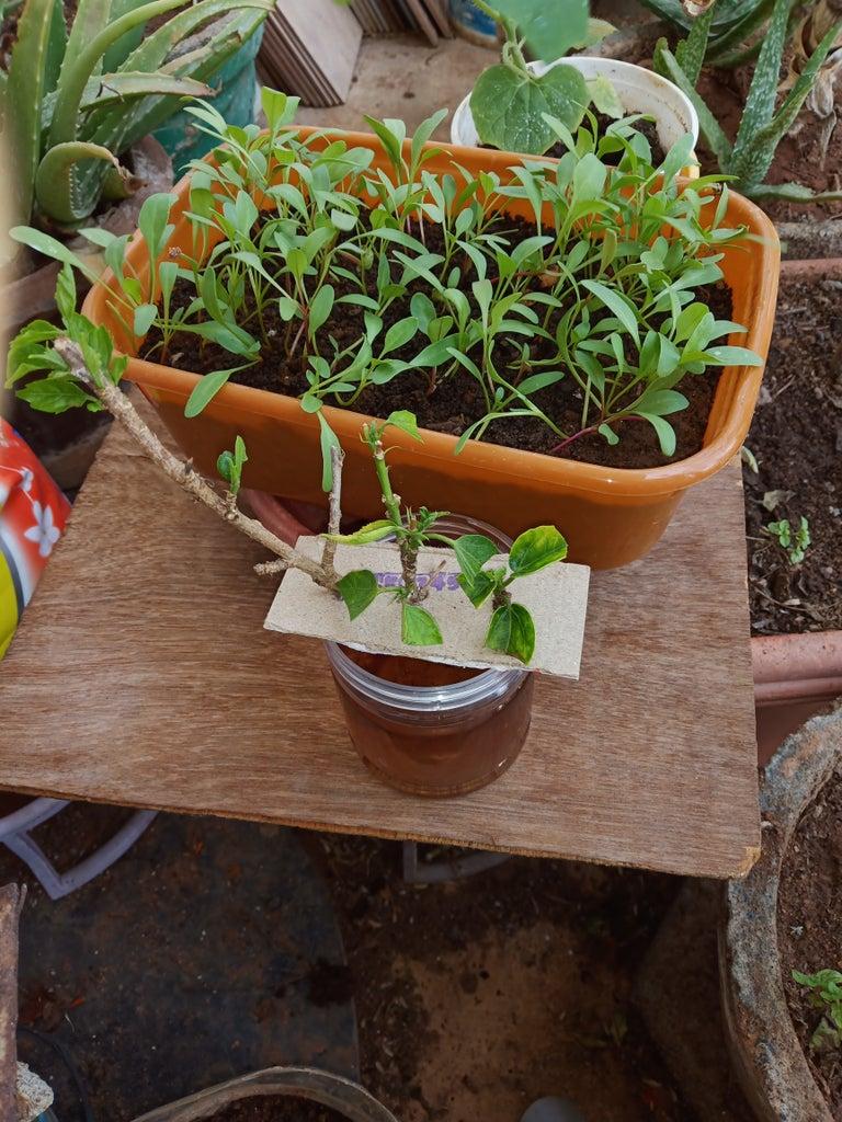 Preparing the Medium for Rooting