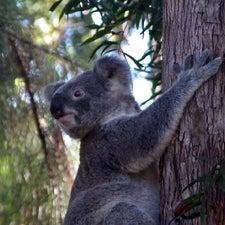 koalasmall.jpg