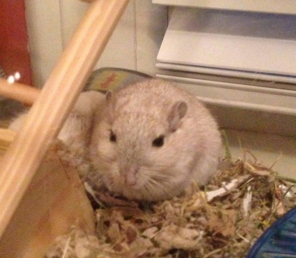 Homemade Gerbil and Hamster Treats