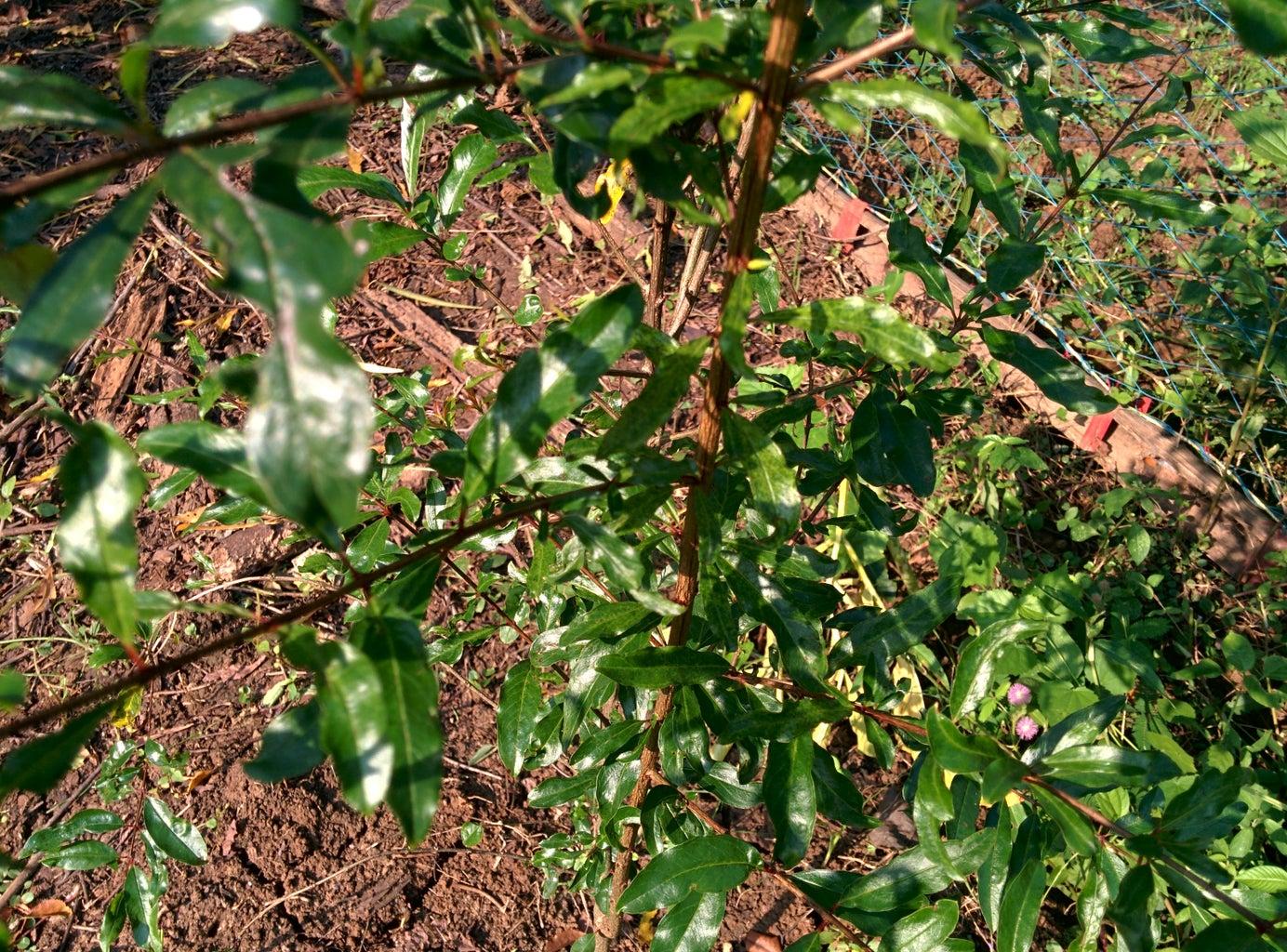 Anar ( Pomegranate ):